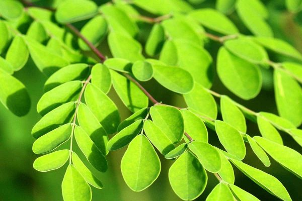 Moringa oleifera (Moringa)