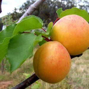 """Prunus armeniaca """"Abricotier des Hunzas"""""""