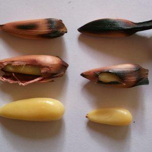 Araucaria araucana (Désespoir des singes)