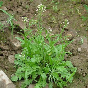 Capsella bursa-pastoris (Bourse à pasteur)
