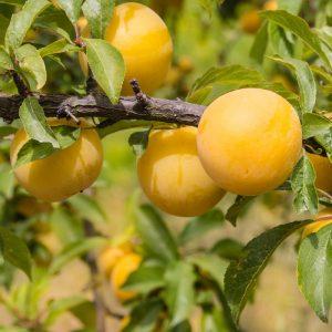 Prunus domesticaPrunier Ste Catherine