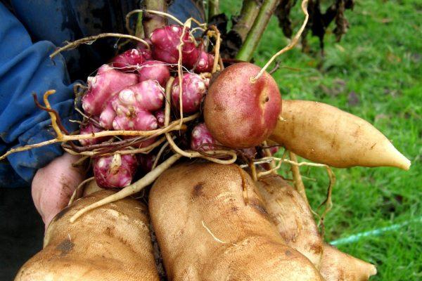 Polymnia edulis (Poire de terre)