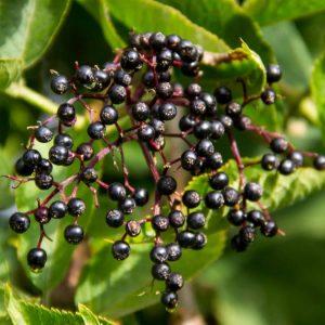 Aristotelia chilensis (Baie de maqui)