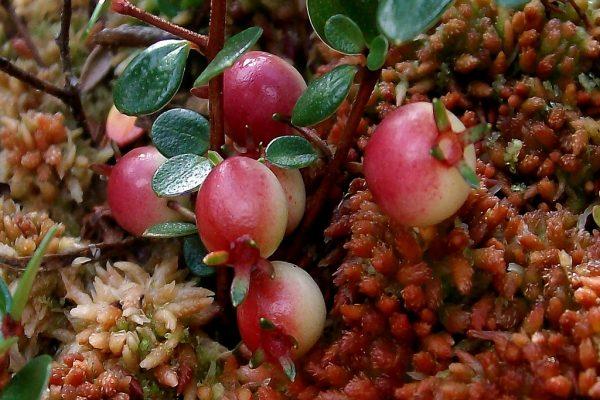 Myrteola nummularia (Petite myrte)