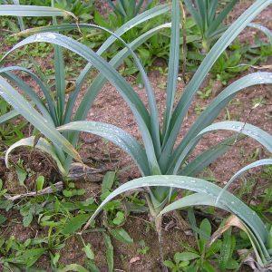 Allium porrum (Poireau vivace classique rocambole)