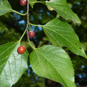 Celtis occidentalis (Micocoulier)