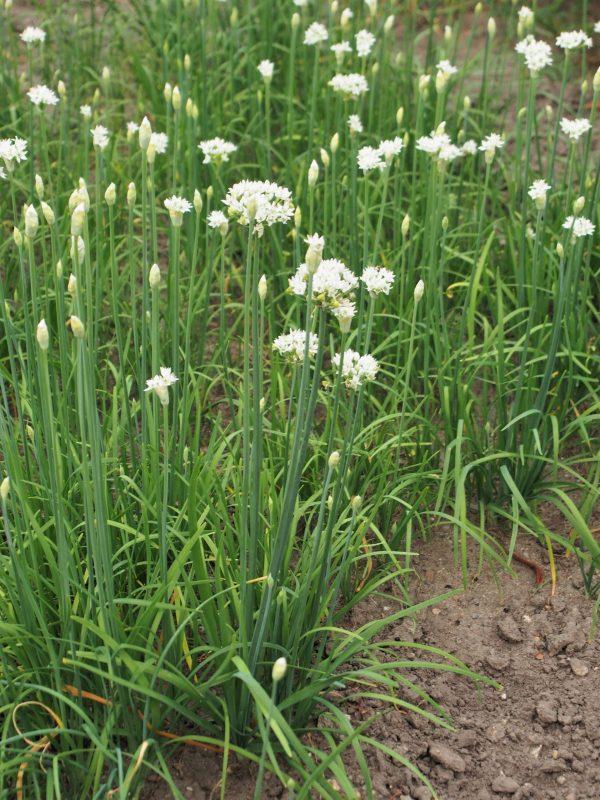 Allium tuberosum (Ciboule de Chine ou Ail rocambole)
