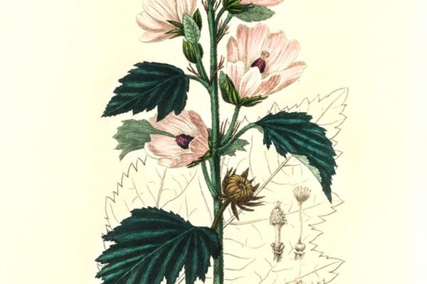 Common marshmallow (Althea officinalis) illustration from Medical Botany (1836) by John Stephenson and James Morss Churchill.