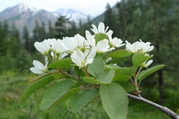 Amelanchier alnifolia var. semiintegrifolia