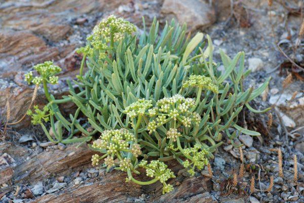 Crithmum maritimum (Fenouil marin)