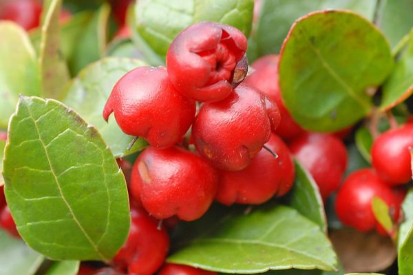 Gaultheria procumbens (Gaulthérie couchée, Thé des bois)