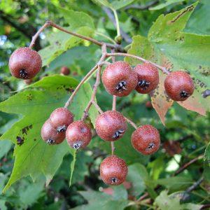 Sorbus torminalis (Sorbier des bois, Torminal)