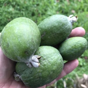 Acca sellowiana (Feijoa)
