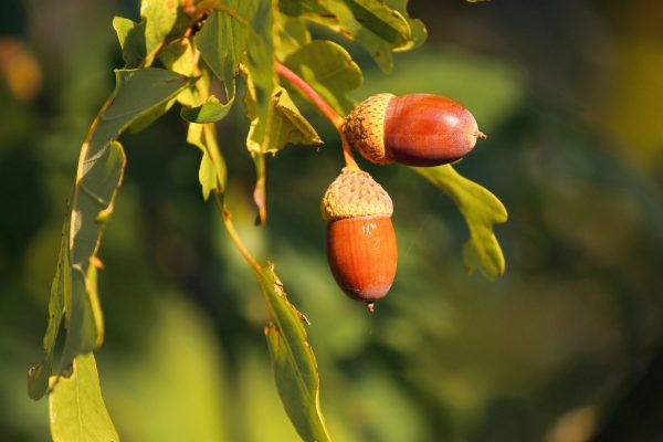 Quercus ilex ballota (Chêne vert doux) 'Valenciana dulce'
