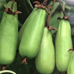 Actinidia kolomikta (Kiwaï)