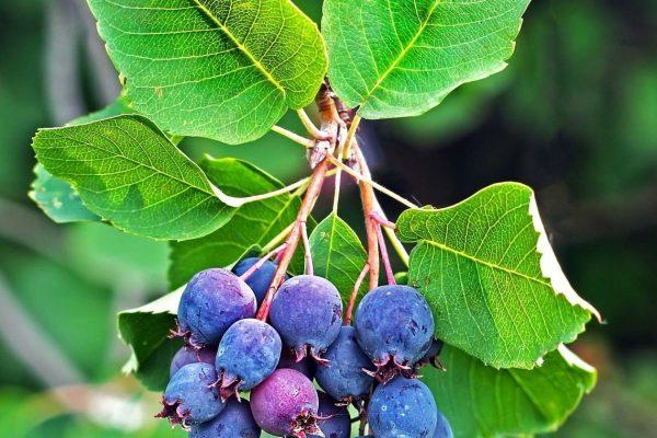 Amélanchier alnifolia (Aronie, Amélanchier à feuilles d'aulne)