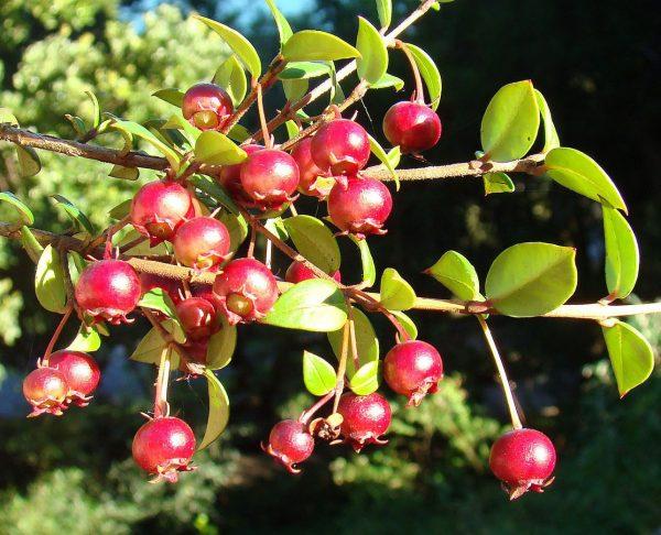 Myrtus ugni molinae (Goyavier du Chili)
