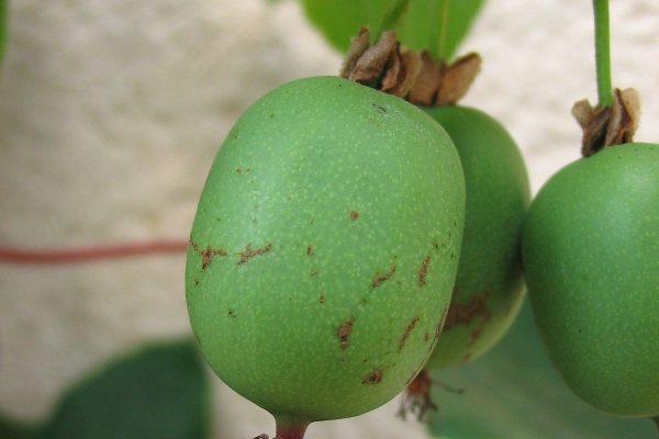 Actinidia arguta (Kiwaï)