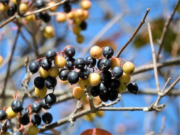 Viburnum lentago (Viorne à manchettes, Allouchier, Bourdaine)