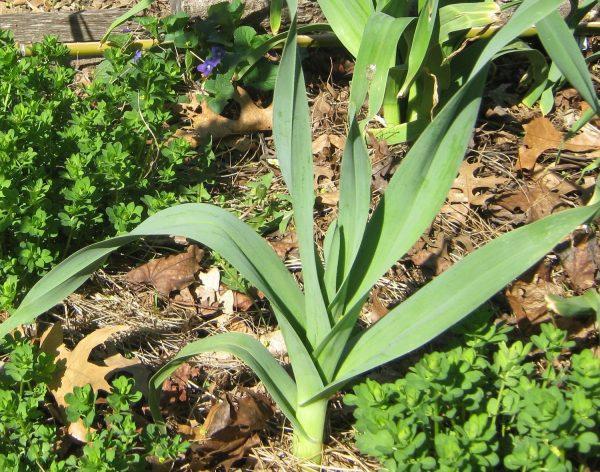Allium ampeloprasum (Poireau perpétuel)