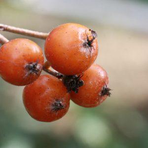 Sorbus latifolia (Sorbier à feuilles larges)