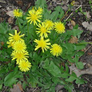 Taraxacum officinale (Pissenlit)