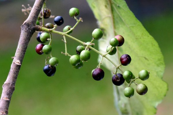 Aristotelia serrata (Makomako, Wineberry)