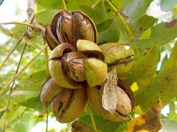 Carya illinoinensis (Pacanier, Noix de pécan)