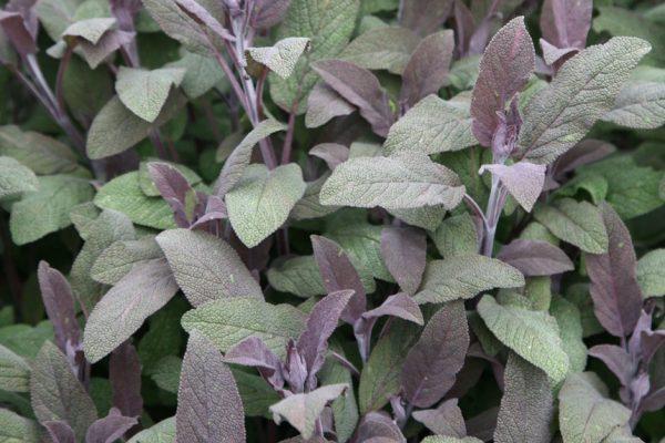 Salvia officinalis (Sauge)