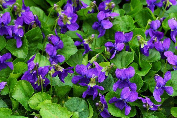 Viola odorata (Violette odorante)